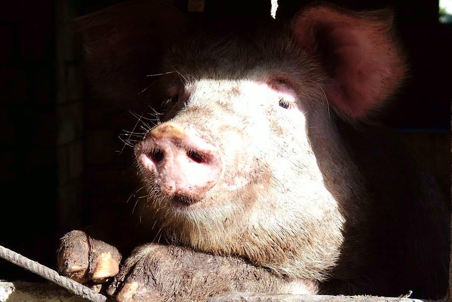 Un porco dal muso simpatico